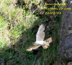 Sparrowhawk 1