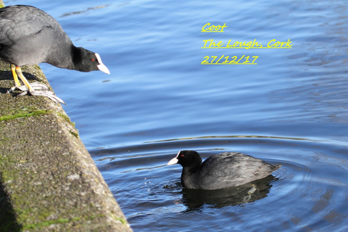 Coot 2