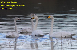 Whooper Swan 2