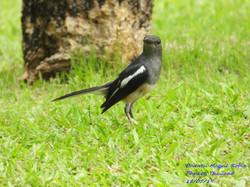 Oriental Magpie Robin 3