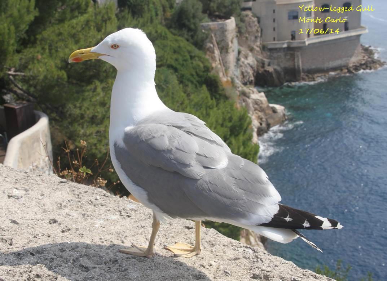 Yellow-legged Gull 2
