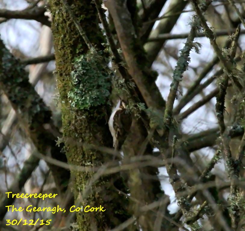 Treecreeper 1