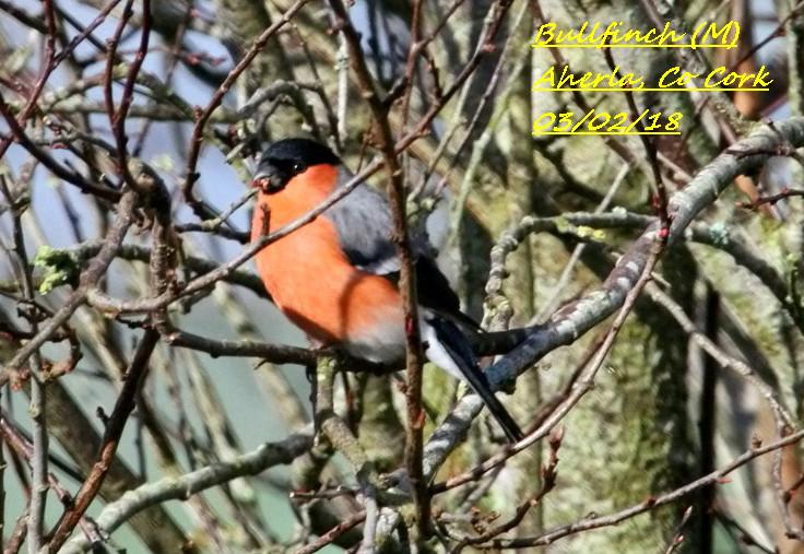 Bullfinch 6