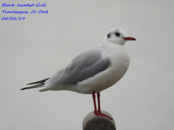 Black-headed Gull 7
