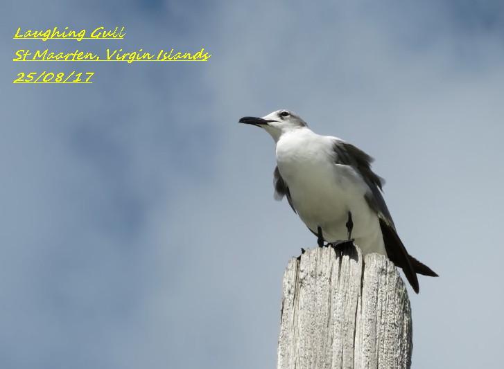Laughing Gull 3