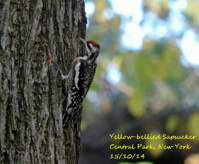 Yellow-bellied Sapsucker 1