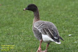 Pink-footed Goose 2