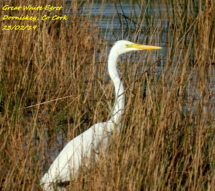 Great White Egret 1