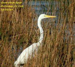 Great White Egret 1
