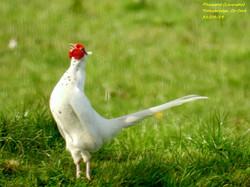 Pheasant (Leucistic) 1