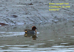 Green-winged Teal 2