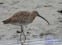 Curlew 7