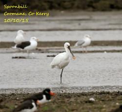 Spoonbill 2