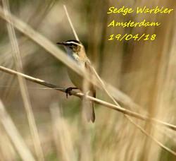 Sedge Warbler 1