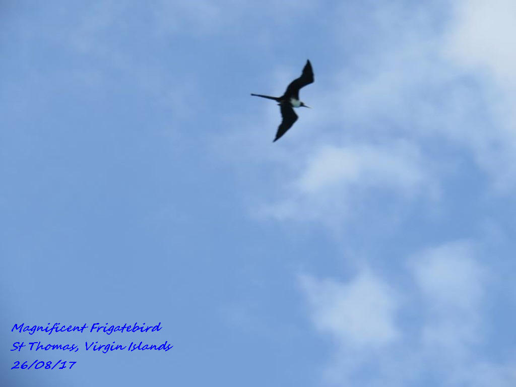 Magnificent Frigatebird 5