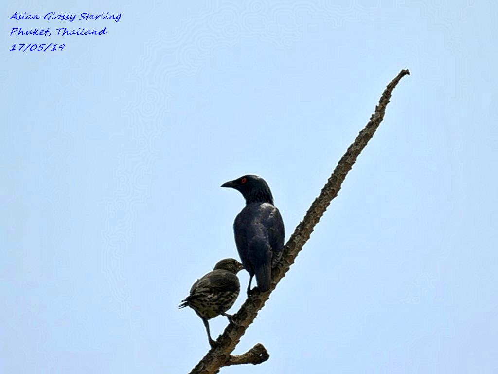Asian Glossy Starling 1