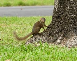Pygmy Tree Shrew