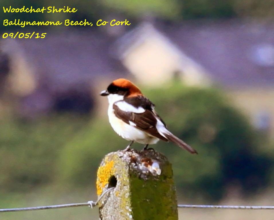 Woodchat Shrike 4