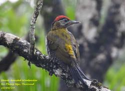 Streak-breasted Woodpecker 5