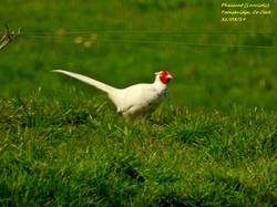 Pheasant (Leucistic) 3
