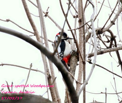 Great-spotted Woodpecker 2