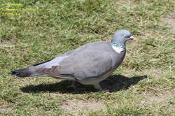 Woodpigeon 1