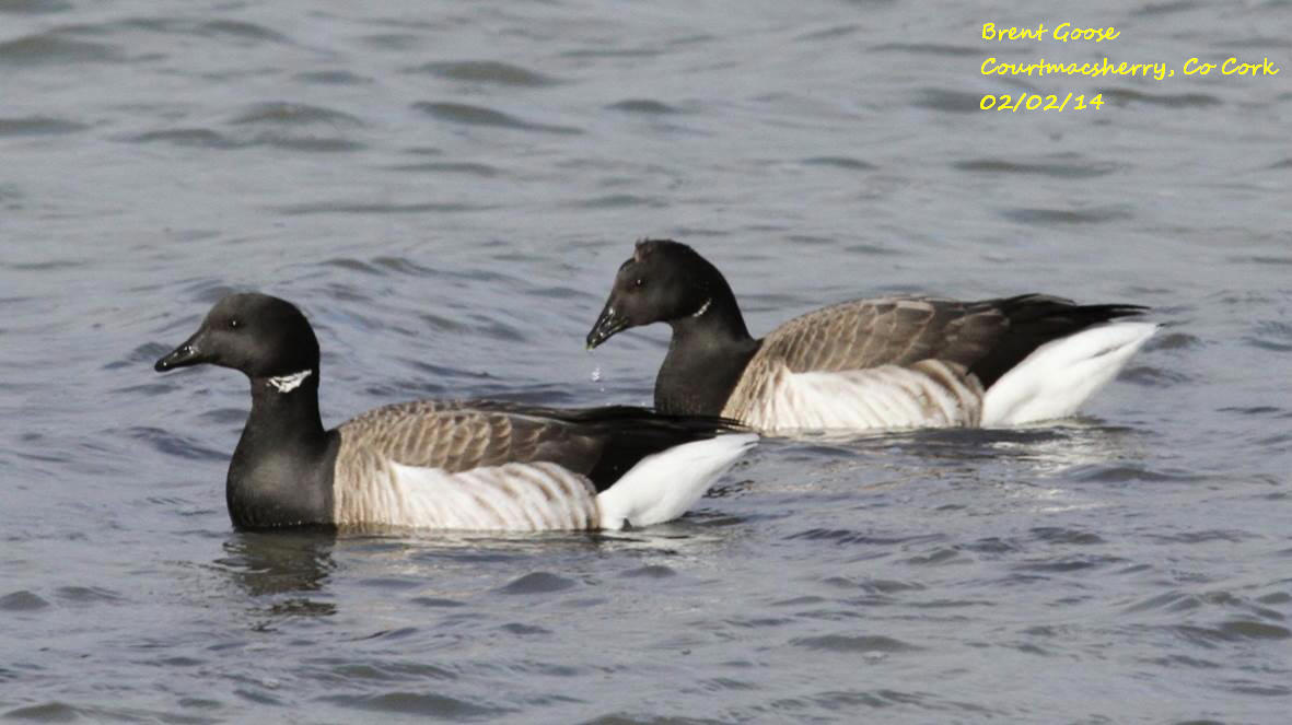 Brent Goose 1