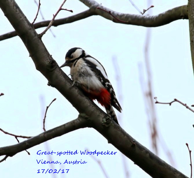 Great-spotted Woodpecker 7