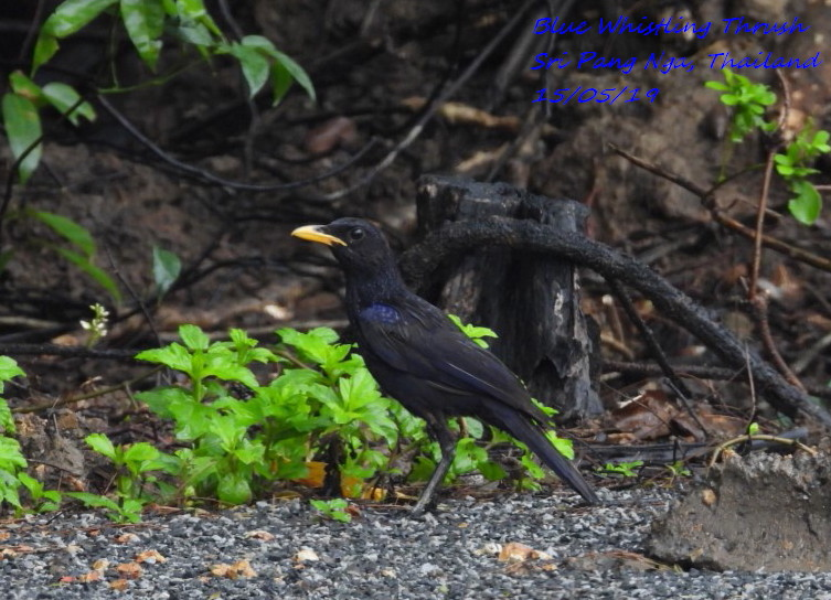 Blue Whistling Thrush 1
