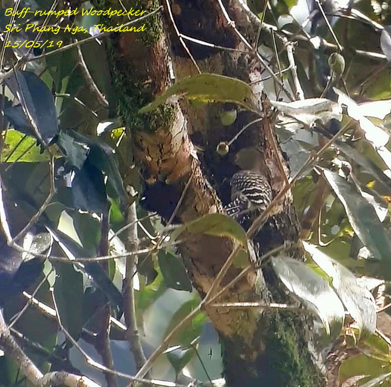 Buff-rumped Woodpecker 3
