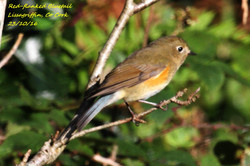 Red-flanked Bluetail 3