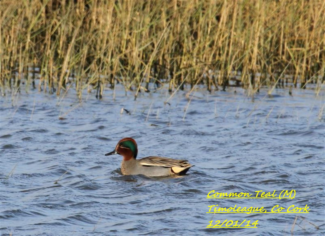 Common Teal 5