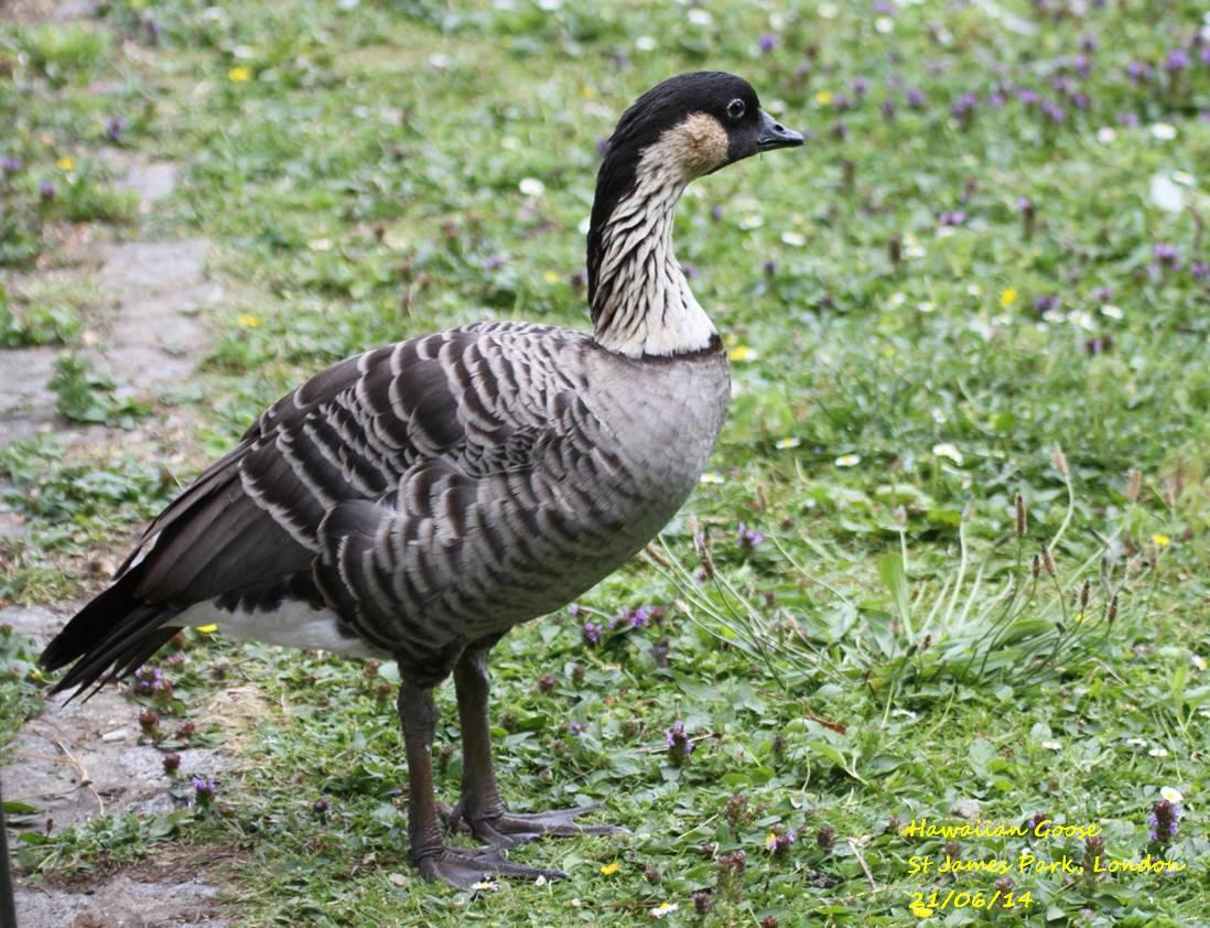 Hawaiian Goose 1