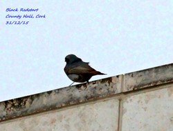 Black Redstart 1