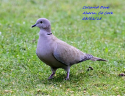 Collared Dove 2