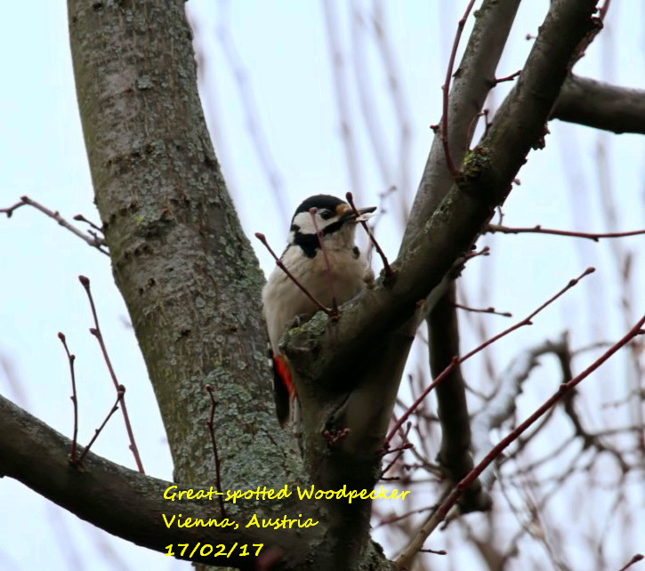 Great-spotted Woodpecker 6