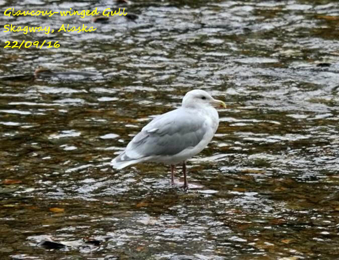 Glaucous-winged Gull 1