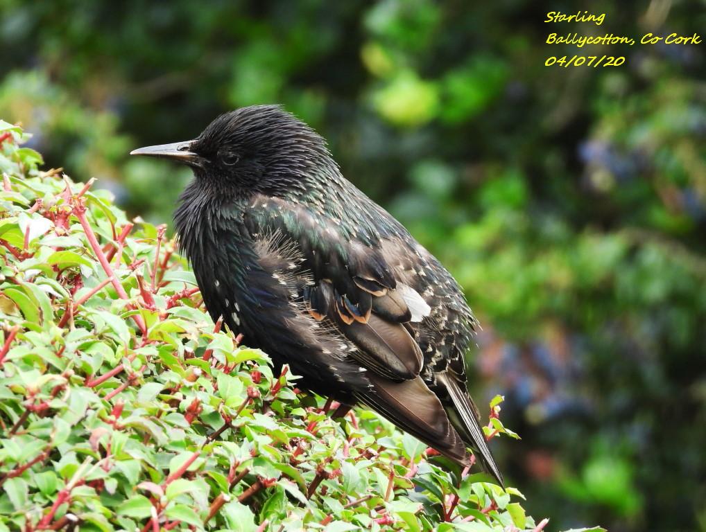 Starling 6
