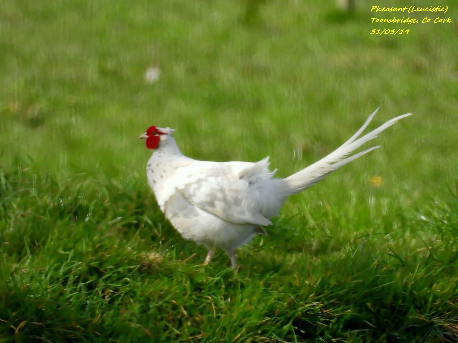 Pheasant (Leucistic) 5