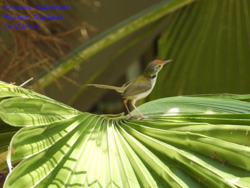 Common Tailorbird 1