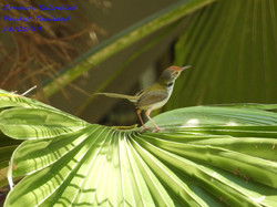 Common Tailorbird 1