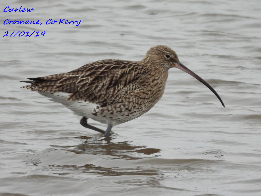Curlew 8