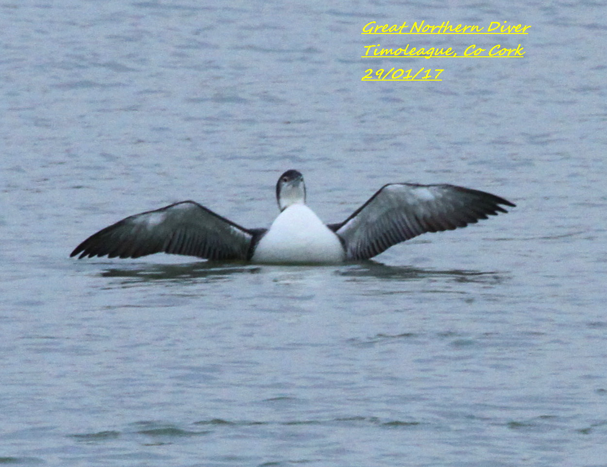 Great Northern Diver 5
