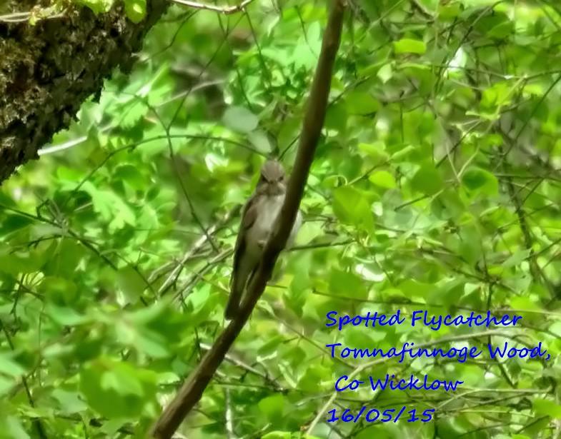 Spotted Flycatcher 3