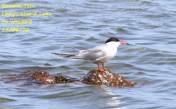 Roseate Tern 2