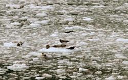 Pacific Harbour Seals (1)
