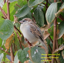 House Sparrow 7