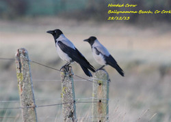 Hooded Crow 3