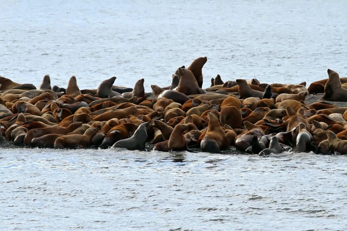 Steller Sea Lion (3)