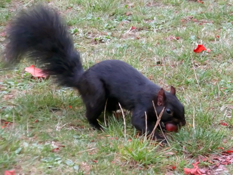 Squirrel Black (2)